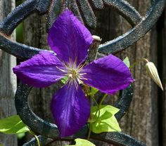 These 10 Vines Want to Sunbathe: Jackman's Clematis