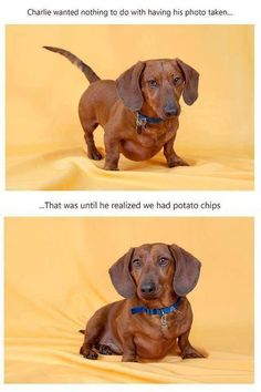 doxie chips