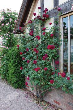 Buy rose Falstaff (shrub) Rosa 'Falstaff ('Ausverse') (PBR)': Delivery by Crocus