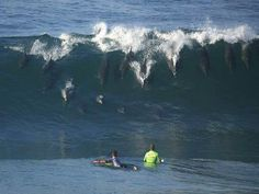 "Dolphins ""surfing"" in San Diego. Wow it is so crazy what animals do for fun #dolphins"