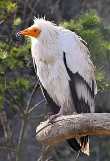 Egyptian Vulture (Neophron percnopterus)   Also called the white scavenger vulture or pharaoh's chicken