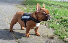 Meine Knutschkugel 13 Wochen alt, French Bulldog Puppy