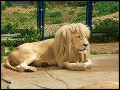 Lion - Belgrade, Serbia