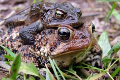 Love, American Toad Style by Larry W Brown, via Flickr