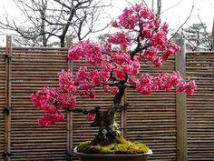 Bonsai - Japan