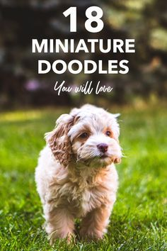 With so many mini Doodle dogs, it is hard to decide which one is the best. Here are the pros and cons of the best small doodle breeds! Small Doodle, Mini Doodle, Cavapoo, Goldendoodle, Doodle Dog Breeds, Puppy Facts, Cool Doodles, Small Dog Breeds, Your Dog
