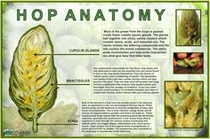 """Do you know your hop? """"Hop Anatomy"""" via Worthy Brewing in Bend, OR @Martha Worthy Brewing"""