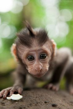 Bali baby by ryan watts on monkeys cute baby animals, Cute Baby Monkey, Cute Baby Animals, Animals And Pets, Funny Animals, Cute Animal Videos, Cute Animal Pictures, Primates, Beautiful Creatures, Animals Beautiful