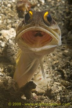 Goldspec jawfish - if I ran into this guy while snorkeling, I think that would end my day in the water!