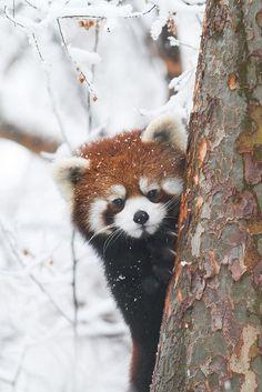 Red panda, hide n seek Fluffy Animals, Animals And Pets, Animals In Snow, Wild Animals, Photo Panda, Red Panda Cute, Panda Wallpapers, Tier Fotos, Cute Little Animals