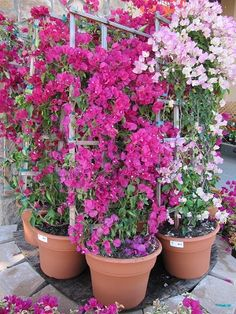 For base of pergola. How to Grow and Care for Bougainvillea Plant in Containers light pink