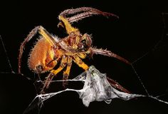 Amazon Spider Feeding