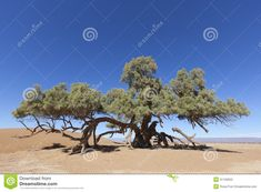 A Single Tamarisk Tree (Tamarix Articulata) In The Sahara Desert - Download From Over 27 Million High Quality Stock Photos, Images, Vectors. Sign up for FREE today. Image: 31193922