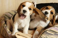 Are you interested in a Beagle? Well, the Beagle is one of the few popular dogs that will adapt much faster to any home. Whether you have a large family, p Cute Beagles, Cute Puppies, Cute Dogs, Dogs And Puppies, Doggies, Baby Beagle, Beagle Puppy, Animals Beautiful, Cute Animals