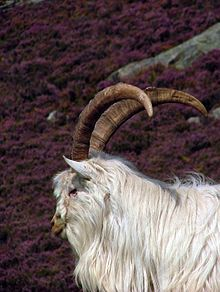 Saanen Goat Wikipedia Autos Post - Classycloud co