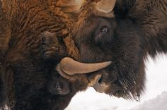 (PHOTO: Joep van de Vlasakker)  Off-the-beaten-track holidays in Europe:  Come face-to-face with bison, elk and wolves in north-east Poland (Meet bison, elk and wolves in the winter as you travel through the snow-covered landscapes of the Biebrza Marshes and Bialowieza Forest in north-eastern Poland on a European wildlife holiday to remember. Enjoy encounters with large yet elusive mammals including elk, otter, European beaver, red deer, wild boar and even wolf or lynx, while also…