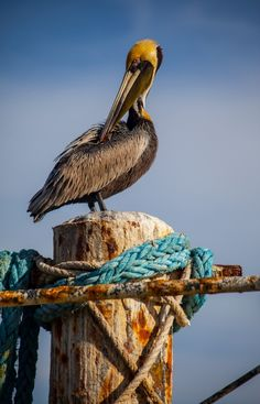Louisiana's state bird, the brown pelican is also the smallest of the world's seven pelican species.