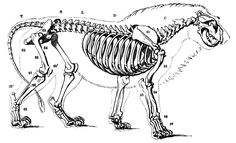 Lion vs Tiger: Skeletal Comparison in Lion Vs Tiger Forum Lion Anatomy, Head Anatomy, Animal Anatomy, Cat Skeleton, Skeleton Tattoos, Skeleton King, The Magicians Nephew, Lion King Art, Tiger Head