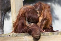 The hair force: Blaze and Pongo.  #CutenessZooATL