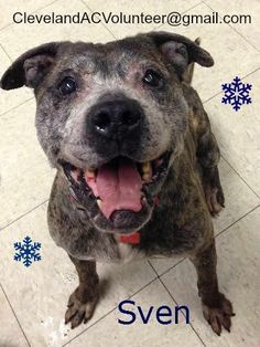 URGENT! NEEDS FOSTER/RESCUE/ADOPTER! CLEVELAND OHIO ANIMAL CONTROL K101: Sven is a 5-7 y.o., 58 lb. male Older gentleman whose tail is always wagging. Friendly boy who loves toys and rawhide, plenty of energy. With a gray face and broken teeth, this guy has had quite the life. Very interested on treats.  Email ClevelandACVolunteer@gmail.com  https://www.facebook.com/rescuemeohio.org/photos/a.442209639156548.103772.312505432126970/686500911394085/?type=1
