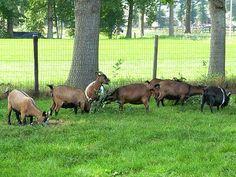 Pygmy goat - Wikipedia, the free encyclopedia