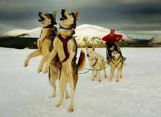A huskie dog team plays in the snow in Scotland.