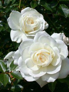 My Flower, Flower Power, Rose Reference, Arte Van Gogh, Most Popular Flowers, Forever Green, Moon Garden, Rose Pictures, Hybrid Tea Roses