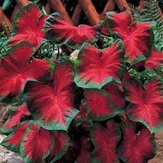 Caladium vermelha verde