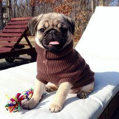 """I can't believe I need my sweater already!"" ・・・ www.jointhepugs.com ・・・ #pugpower #blackpug #cutedog #instadog #pugnation #pugpuppy #puglover #pugoftheday #dogs #dogstagram #dogsofinstagram #happydog #puppyeyes #dogsofinstaworld #petstagram #pets #puglovers #pugsnotdrugs #pugrequest #votepug #pugchat #instapug #cuteness #pug #pugs #fawnpugs #fawnpug #babypug"
