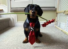 Waiting for his date <3 http://www.celebritydachshund.com/2013/12/09/double-doggy-date-night/