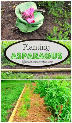 Learn how to grow your own asparagus with this guide! #garden