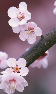 cherry blossom wallpapers   wallpaper cave wallpaper in