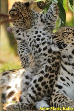 Spotted Leopard mother and cub