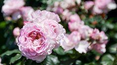 Rosane Pfingstrosen   Rosen . Garten . roses . garden   Rheinland . Eifel . Koblenz . Gut Nettehammer  