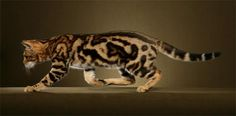 domestic bengal cats Funny Cat Wallpapers