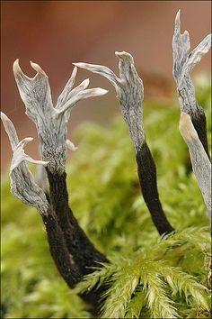 the stag's horn (Xylaria hypoxylon) fungus is also sometimes known as dead man's fingers.