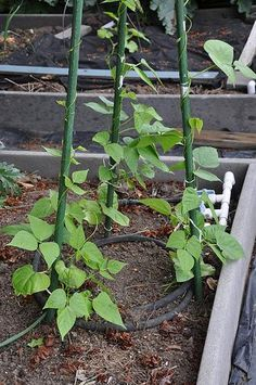 No space for vegetables? Try vertical gardening. - Pole beans. (Photo by OSU's EESC) - More here: http://extension.oregonstate.edu/gardening/no-space-vegetables-try-vertical-gardening