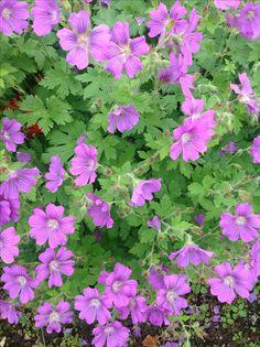 Hardy geranium 'Sirak'