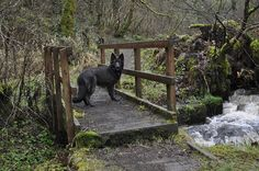 A long-haired blue coat German shepherd. Quite rare! By Jimmy_misha, via Flickr. #gsd