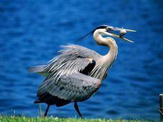 great blue heron | keywords great blue heron bird wallpapers great blue heron bird ...