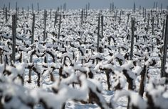 nevada - vineyard snow by Oleguer Subirats on 500px