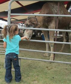 4 year old Alexis feeding the camels.