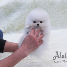 White Pomeranian Puppies, Teacup Pomeranian, Teacup Puppies For Sale, Bear Face, Vancouver, Dogs, Teddy Bear, Animals, Female