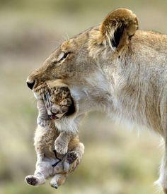 Fotografía de Rocco Sette,una leona con su cria