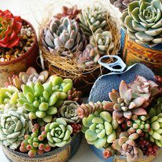 ••Succulents echeveria●decoración••