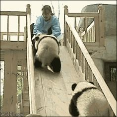 Quick! Look at these pandas on a slide!!!
