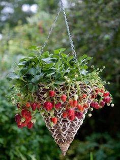 Grow strawberries in a hanging basket Strawberry Hanging Basket, Strawberry Planters, Strawberry Garden, Fruit Garden, Veggie Gardens, Succulents Garden, Hanging Baskets, Hanging Plants, Hanging Gardens