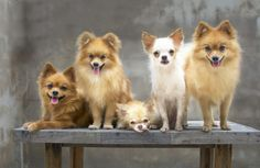 """No matter who you are, you're well-aware of the pint-size pooches the American Kennel Club describes as """"graceful, charming, and sassy."""" You know that theirpocket-sized portability and irresistible cuteness make them popular pets among celebrities. You know they give …"""