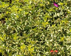 Japanese Lilac Tree, Syringa reticulata, 1 Gallon Potted Plant, Ivory Silk, Showy, Fragrant, Creamy-White Flowers, Unique, Blooms Japanese Lilac Tree Syringa reticulata 1 Gallon Potted   Etsy<br> Lilac Tree, White Flowers, Lilac, Large Floral Arrangements, Japanese Lilac Tree, Japanese Lilac, Backyard Trees, Fragrant Flowers, Syringa