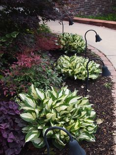 Pretty! Fire and Ice hostas in Susan's Hostas in Arkansas, Day 3 | Fine Gardening